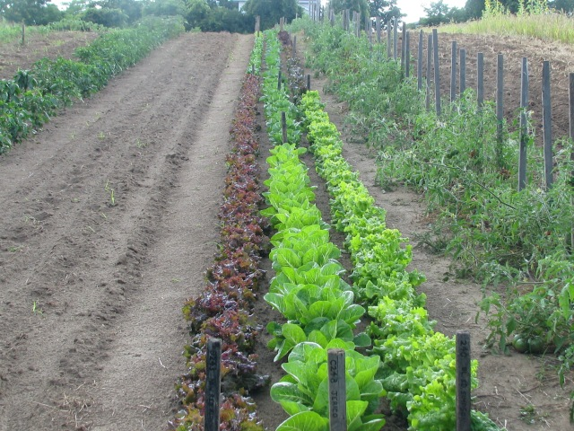 The lettuces beside the tomatoes. Lots of them are more than ready.  Spinach is newly seeded to the left but has not yet germinated.