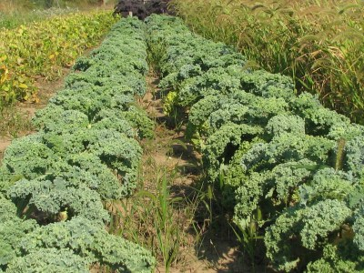 Two rows of kale, still growing quite well. The green and yellow beans, now finished and drying, are to the left.