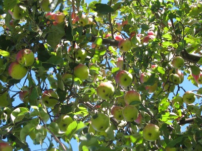 Closer view of the same lot of apples, different angle.