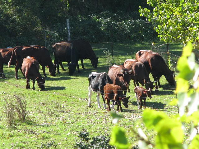 The herd on the way out to pasture, with the two calves out front.