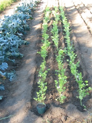 To the left is the broccoli, in the centre is celery for cut leaf in a couple of weeks with spring '14 leeks and next seasons garlic planting to the right.