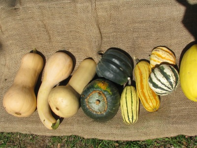 Squash varieties. from left ; three different shapes of Butternut; Buttercup with Acorn above it; two colours of sweet potato.