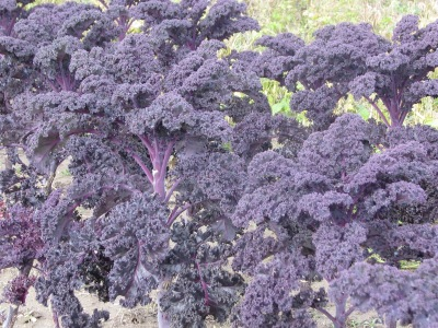The red kale, which is better described as purple.  It is almost a metre in height, looks very good, no insect damage and is largely unaffected by cold or even freezing weather.