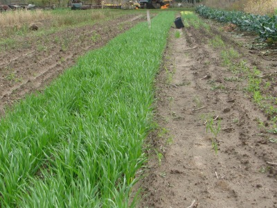 The bright green strip is oats overseeded on the new garlic planting, It will die off with the frost and will provide mulch for the garlic. To the left was potatoes, to the right is a bed half filled with fall planted onions for spring greens and at the far right is the row of broccoli.