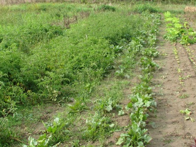 To the far left are the Calabash tomato plants, next row is first the Red Pear tomato plants followed by the Mexican.  In the middle are the Chiaggo beets and to the right the Mesclun mix, most of which has been cut.  The tomatoes in this photo are the three varieties which are almost untouched by blight whereas other varieties were completely killed of long ago.