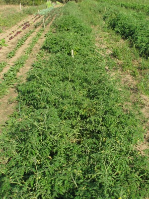 Tomatoes with beets to the left.