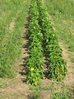 Two rows of late planted peppers just starting to get fruits.