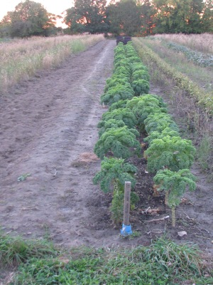 The two Kale rows in the sunset, empty potato rows to the right.