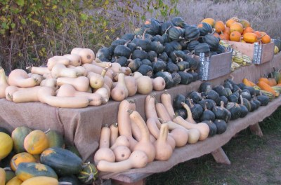 Spaghetti, Buttercup, Butternut and Acorn squashes piled high.