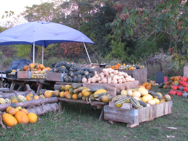 The squash displayed ready for pickup except we still, at this point, had a lot more to harvest.