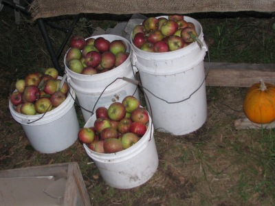 Buckets full of fresh picked apples.