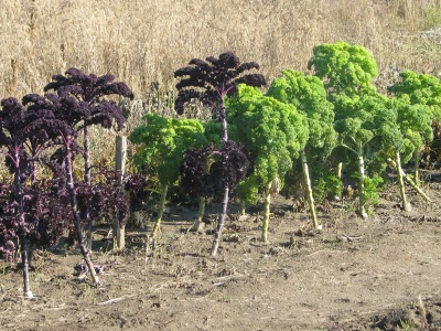 The red and green Kale with lots of leaves harvested but with still a lot more leaves to go and many plants have more leaves than this. Leaves are harvested from the bottom up and new leaves appear at the top as the plant grows in height.