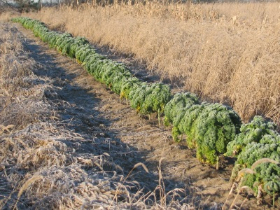 The third row of kale has not yet been harvested. This one was planted for winter harvest.  Come get some $4.00 for a large bunch of 10 to 12 leaves.