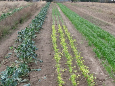 The row of green plants on the left is Broccoli, to the right the three row bed of onions but with at the beginning three short rows of celery meant for cut-leaf but which went in to late.  To the left is the garlic oversown with oats.