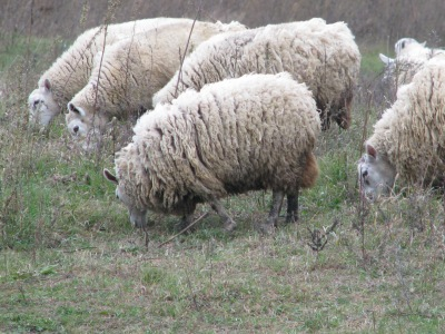 Our Border Cheviot sheep, the one in the foreground is a lamb born late last winter.