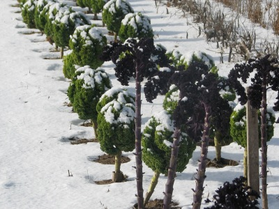 The kale under a bit of snow.  The red plants in front have been recently picked of most of their leaves.