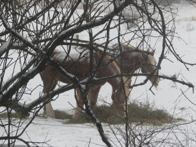 The horses at their morning hay during the snow storm earlier in the week.  Looking through the branches of the honeysuckle bush.