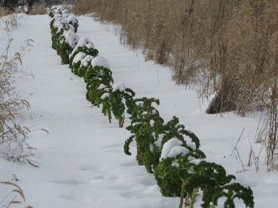 the single row of kale planted for winter picking only and we have barely started on it.  The leaves are covered with snow and quite frozen but they break off easily.