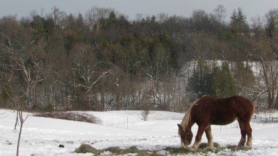 The mare Marie still munching on the mornings haywith a very snowy winter landscape in the background.