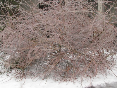 The shrub willow in front of our house looking very pretty in it's coating of ice,  It was undamaged.