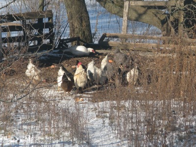 A few days ago, the chickens suddenly found something interesting and 5 minutes later they were all dispersed.