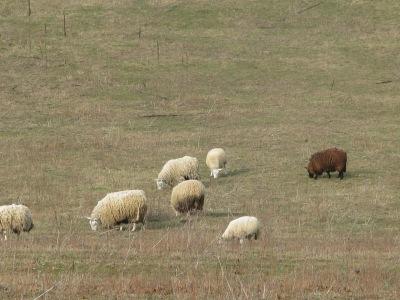 A closer look at the sheep.