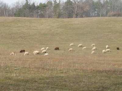 The goat (far left) and the sheep on a dwindling pasture.