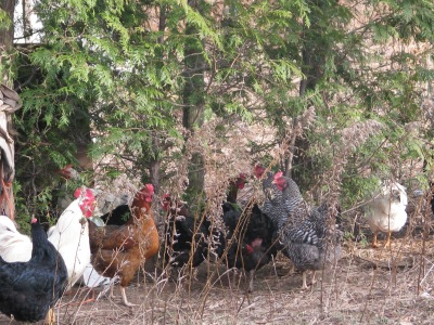 """The rooster was over by the trees, that's him , the white bird to the left, and he made a bit of a warning sound and all the chickens around me immediately and quickly scurried to the shelter of the trees.  The sound he made is to warn of something flying overhead, """"Look out Hawk"""", even if it was only a pigeon."""