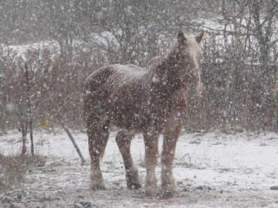The gelding, Wimpy, lunch finished just standing tolerating the cold and the snow flurry.