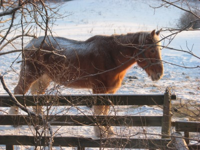 Jan. 23,  Sleeping off breakfast waiting for the mornings grain treat. The Wimpy horse.
