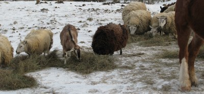 The sheep and the goat have now found the horses hay and are starting to chow down.