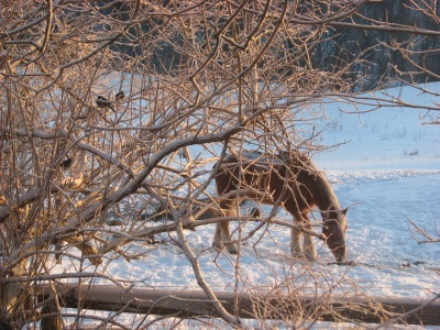 Three nuthatches in a bush watching the mare  munching on some hay, eight in the morning. Temperature is -22C