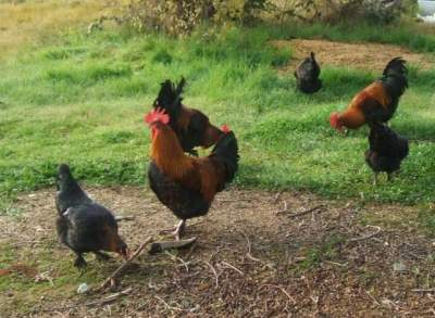 A flock of Black Copper Marans.  Marans is the breed name and Black Copper is the colour variant.  From around the town of Maran in France.