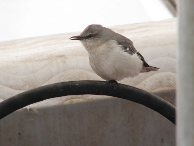 The Mockingbird in the woodshed perched on the tractor steering wheel. Must be cold, that wheel, as he has the one leg pulled up to keep warm.