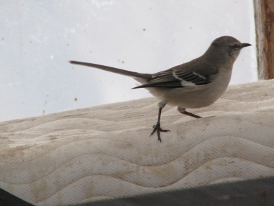 This gives a good profile view showing the characteristic Mockingbird markings.
