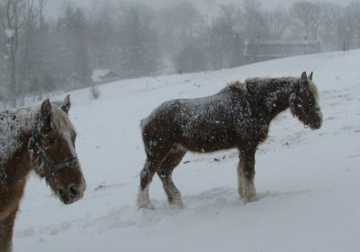 The horses are sheltered from the worst of the wind. The snow will stay unmelted on their well insulated backs. They are dreaming of warmer pastures.