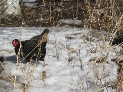 This hen and a buddy were quite a way from the chicken house when I came and were a little slower but eventually their curiosity got the better of them and they trudged through the snow so as not to miss out on any thing being given out. Nothing was as it turned out.