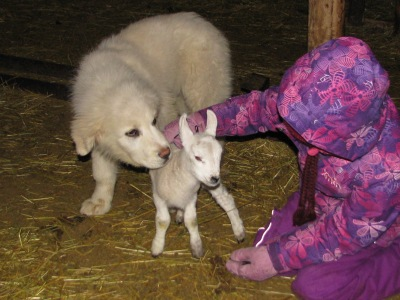 Maremma, Quincy with his lamb and Briar.  He was all over this poor lamb and we did have to separate them.