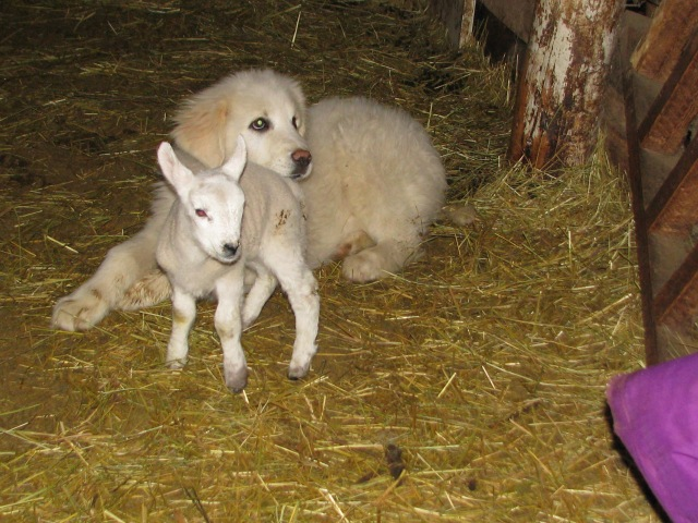 One more photo of dog and lamb.  they both were quite happy together and at this point the only sheep that would get any where near the dog.
