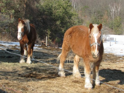 The team; our mare Marie to the left. It still does not quite look spring like.