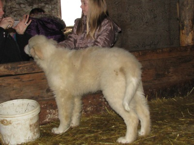 He is only a 15 week old puppy, eats like a horse though.  Looks like a sheep.  Acts like a Maremma.