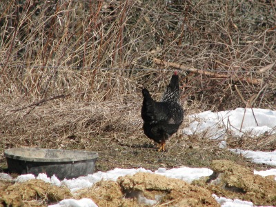 Our old black hen by her lonesome, well away from the hen house, feasting on bits of horse spilled grain and also liking the mid day sun.