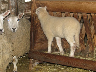 The largest of the new lambs standing in the hay feeder as they are wont to do.