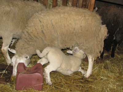 Mealtime for one of the month old lambs.