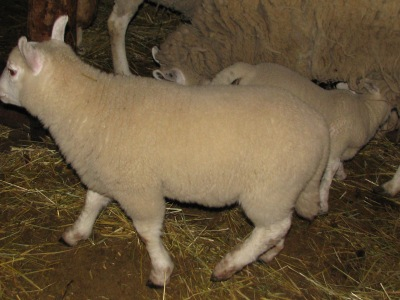 This is one of the oldest of this spring's lambs looking nice and plump.