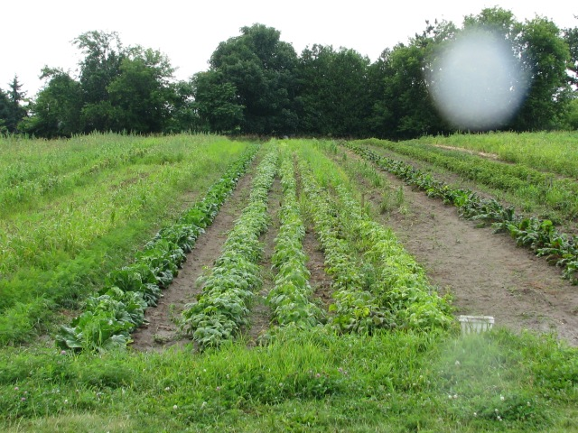 The garden at the bean rows in Wednesday rain. Two drops on the lens on the right side of the photo.