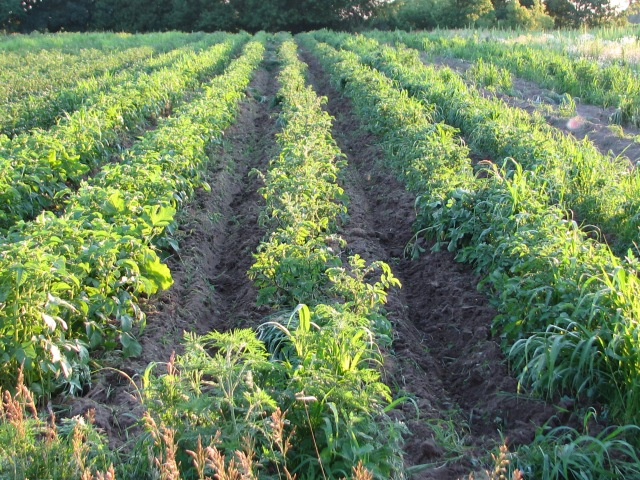Potato rows, freshly cultivated and looking a lot less weedy.