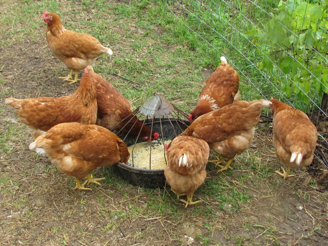 The new hens, the pullets, at the round feeder.