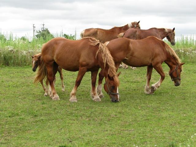 The horse herd.