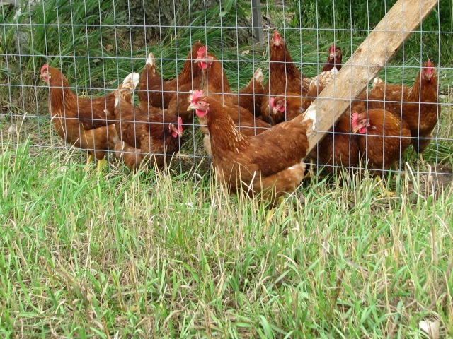 The pullets, one is an escapee.